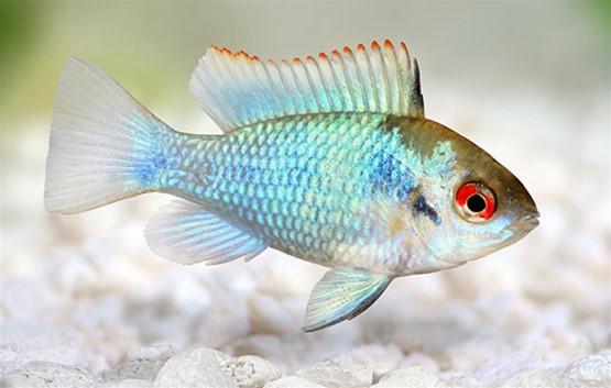 angelfish freshwater tank mates