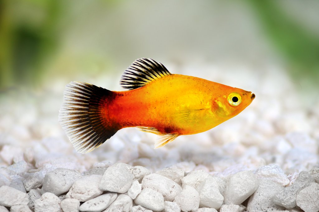 Fish That They Can T Annoy Like Guppies And Swordtails Are Live Bearers So Expect Some Platy Juniors In The Future Their Ideal Tank Temperature