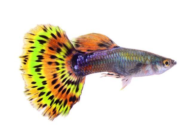 tropical fish temperature chart